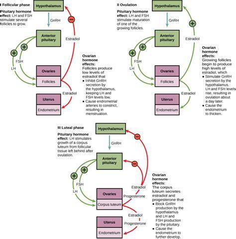 hormonal control  human reproduction voer