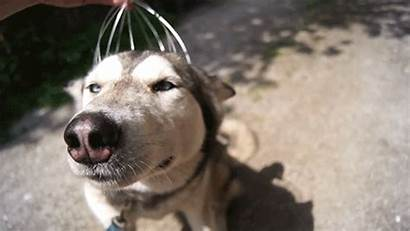 Husky Gifs Siberian Massager Head Dog Personal