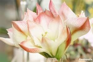 Amaryllis Pflege Nach Der Blüte Amaryllis Ritterstern Berwintern