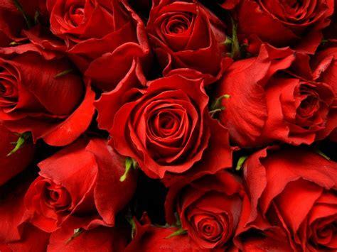Red Rose Desktop Wallpapers