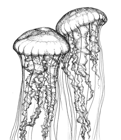 Items Similar To Two Sea Nettles Scientific Illustration