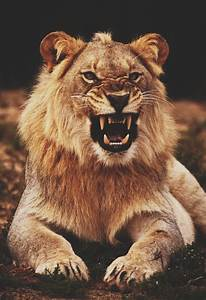 lion growling   Tumblr