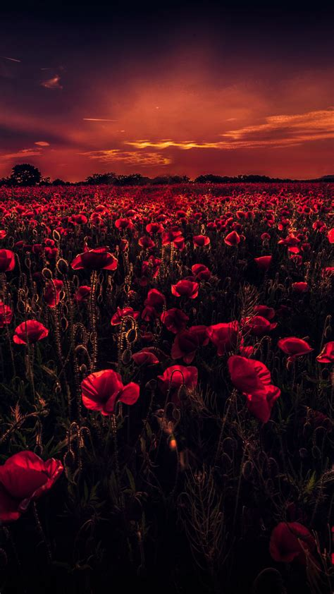 wallpaper poppy field sunset red poppies hd  nature