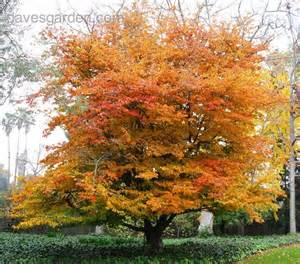 Nursery Vancouver by Plantfiles Pictures Persian Ironwood Persian Parrotia