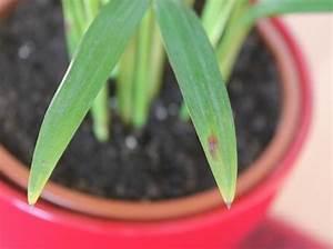 Yucca Palme Braune Blätter : eine palme geht ein eine verf rbt sich seite 1 ~ Lizthompson.info Haus und Dekorationen