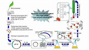 Steps For Synthesis Of The Recombinant Proteins In E  Coli