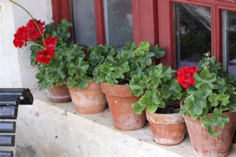 planting geraniums in pots geraniums design