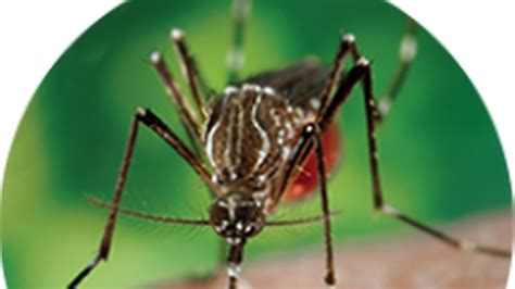 infectious mosquitoes detected  antelope  carry zika