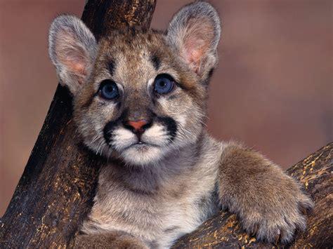 Cougar Symbolism; A Message