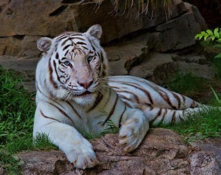 Are White Tigers Albino