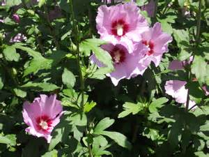Rose of Sharon Flowering Shrubs