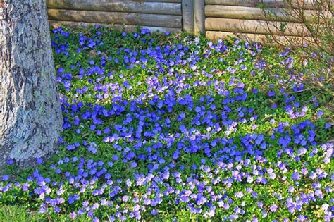 blue flower ground cover plants periwinkle ground cover how does your garden grow pinterest flower plants and trees