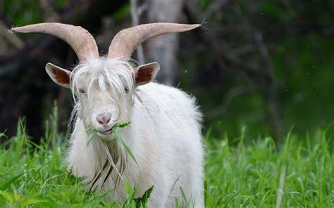 Goat Eating Fresh Grass Desktop Background Hd 2560x1600