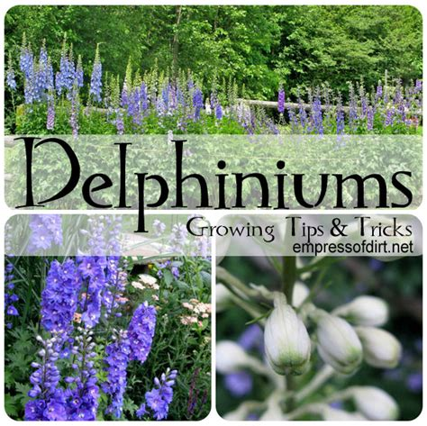 tip for planting delphinium seeds in fall and more hometalk