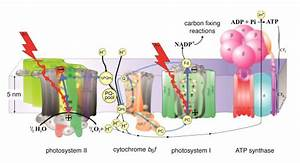 Coherence In Photosynthesis