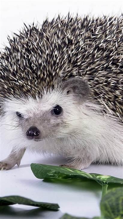 Hedgehog Code Wallpapersafari Animal
