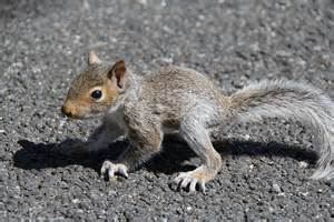 Month Old Baby Squirrel