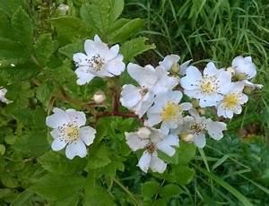 Weiß Blühender Strauch : noch eine rosaceae feldrain rosa multiflora ~ Lizthompson.info Haus und Dekorationen