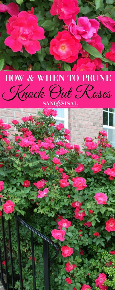 when do you prune roses how and when to prune knock out roses sand and sisal