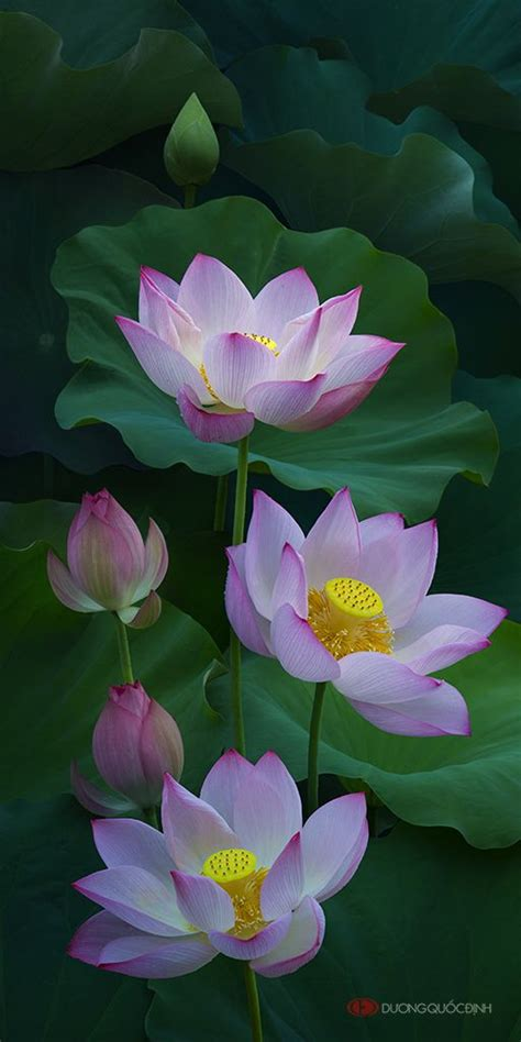photo duong quoc dinh lotus flowers lotus lotus