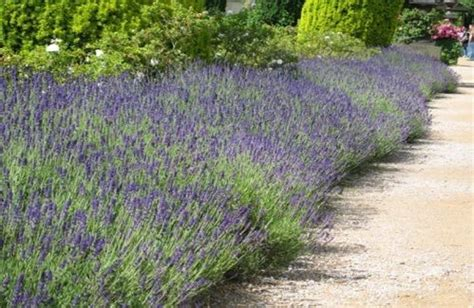 soil type for lavender 11 best images about backyard plantings on pinterest jasmine hedges and climbing