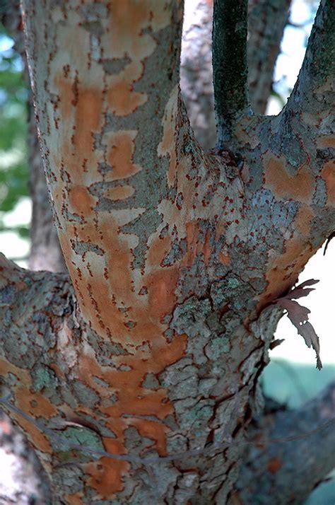 athena elm ulmus parvifolia athena  fayetteville