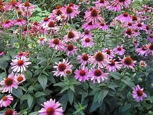 Sonnenhut Pflanze Kaufen : purpursonnenhut staude echinacea purpurea pflanze purpur sonnenhut blume rotbl hender sonnenhut ~ Buech-reservation.com Haus und Dekorationen