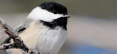 Cornell Great Backyard Bird Count by What We Do Citizen Science