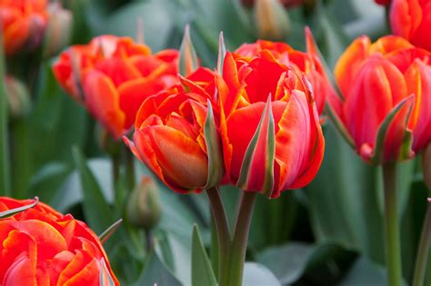 tulip pictures tulip flower pictures red tulip flowers free stock photo public domain pictures
