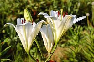 Fleur De Lys Plante : image libre nature fleur de lys flore jardin plante ~ Melissatoandfro.com Idées de Décoration