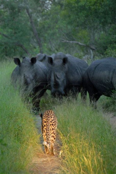 Leopard Faces Off Rhino Herd Isynoho Flickr Wild