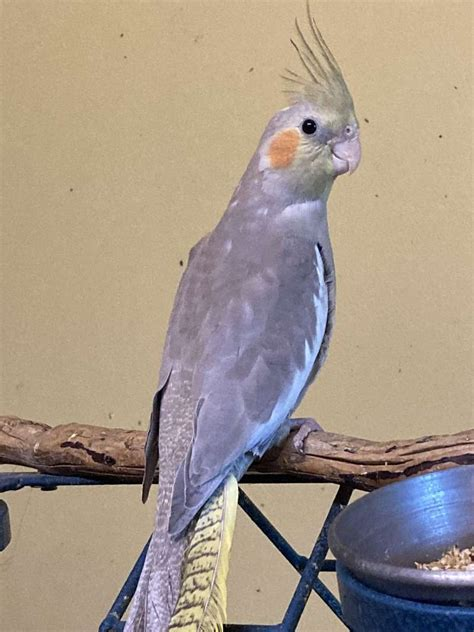 Cockatiels for Sale in New York