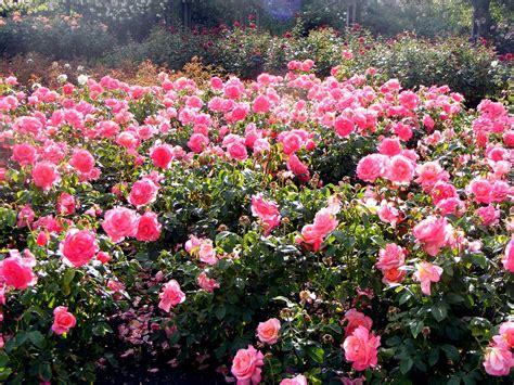 beautiful roses garden queen mary s garden most beautiful rose garden ever tourism vivid gardens pinterest