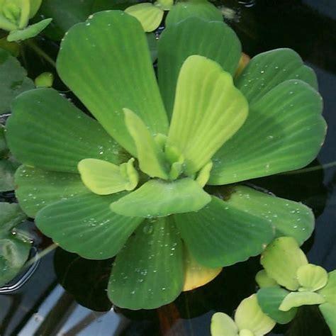 water plants water lettuce and water hyancinth bundle floating live pond plants aquarium plants for sale