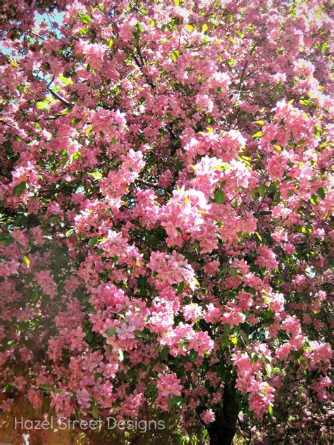 Sep 10, 2021 · in spring, they're covered with fragrant white, pink, or red flowers, and produce tiny yellow, orange, or red fruit in fall. Living in My Pajamas: Pink Spring Trees