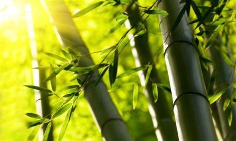 canna da giardino canne di bamb 249 qual 232 il terreno adatto pollicegreen