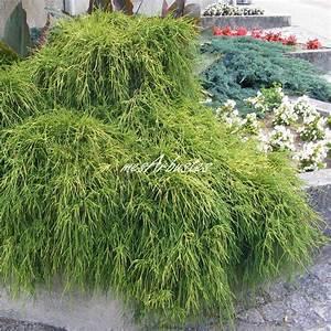 Arbuste Persistant Croissance Rapide : vente coniferes ~ Premium-room.com Idées de Décoration