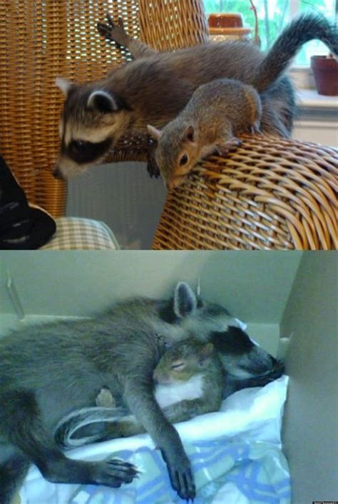 a raccoon and squirrel s friendship inspires redditors