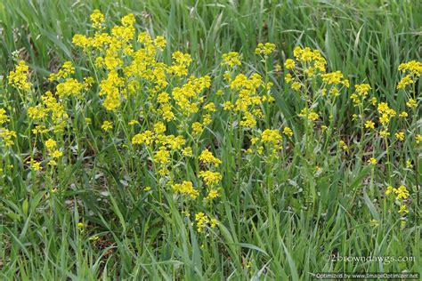 weeds with yellow flowers yellow flowered weeds uk images