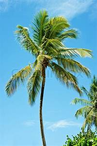 Palm tree in the wind   Stock Photo   Colourbox