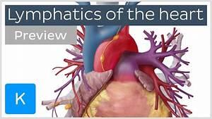 Lymph Nodes In Neck Anatomy