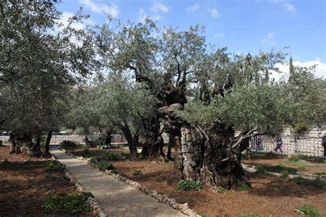 Garten Gethsemane  Am Fuße Des Ölbergs Foto & Bild Asia