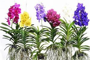 Orchidee Vanda Pflege : vanda div farben xl florastore ~ Lizthompson.info Haus und Dekorationen