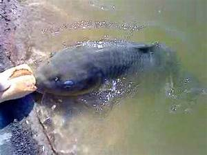 Giant Freshwater Eels 巨大うなぎTahiti French Polynesian タヒチ ...