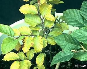 Stickstoffmangel Bei Pflanzen : n mangel auf arbofux diagnose datenbank f r geh lze ~ Lizthompson.info Haus und Dekorationen