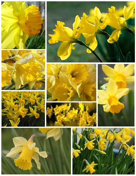sublime exuberance  daffodils house appeal