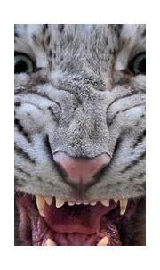 white tiger with blue eyes wallpaper 4k ultra hd wallpaper ...