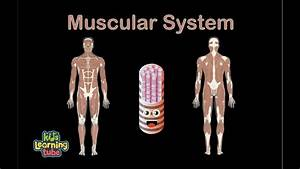 Human Body For Kids  Muscular System Song  Human Body Systems
