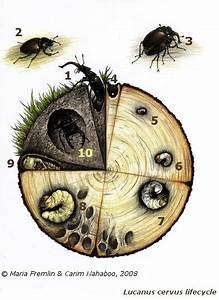 Life Cycle Of A Stag Beetle