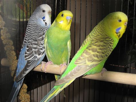 budgie bird hd budgie bird wallpapers hd wallpapers backgrounds photos pictures image pc